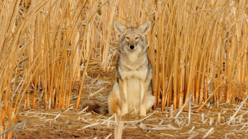 How To Choose The Best Coyote Call If You Are A Beginner?